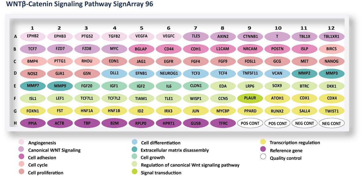 WNTbeta Catenin Signaling Pathway